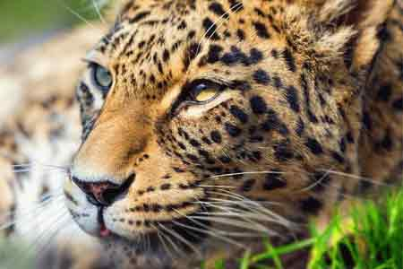 In Tavush, measures will be taken to protect the Red Book leopard